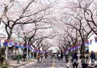 벚꽃비 내리는 제주…제주왕벚꽃축제 개막