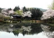 지난 해 경주 보문정 일대 벚꽃