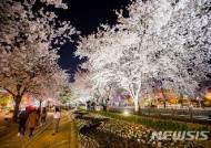 구미, 금오천변 밤 벚꽃길 걷는 시민들