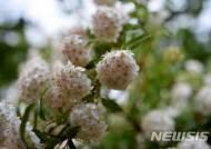 봄비 속 꽃망울 터트린 공조팝나무