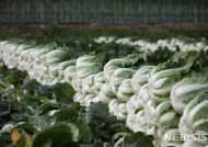 채소가격안정제로 재배된 태백농협 고랭지배추