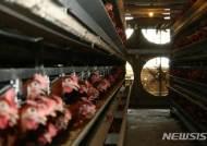 여름철 보양식·월드컵 특수…닭 사육 '사상 최대'