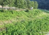 [뉴시스 앵글]생태교란 외래식물로 뒤덮인 충주 삼탄유원지