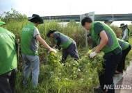 '가시박·돼지풀' 광주천 생태계 교란 외래종과 전쟁중