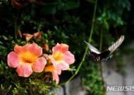 사향제비나비의 꽃비행