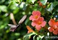 사향제비나비의 날갯짓