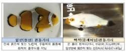 """수과원, 백작흰동가리 종자 생산 성공…""""해수관상어 시장에 도전장"""""""