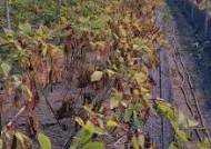 한달 넘은 폭염·가뭄에 전남 지역 배추·무 등 가을 밭작물 '비상'