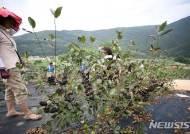 폭염·가뭄에 단양 아로니아 올해 수확량 급감