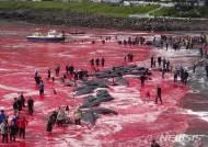 日, 보호지역서 또 고래 불법 사냥…올해만 수백마리