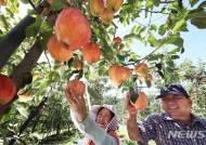추석용 사과 수확