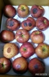 추석선물로 썩은 사과 유통…소비자 잇단 피해