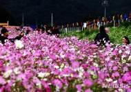 하동북천 코스모스 축제에 취하다