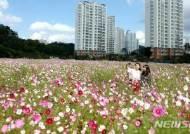 [용인소식] 구성동 코스모스 꽃밭축제 등