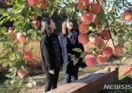 '과일의 고장' 영동 원조 후지사과, 올해도 위세 뽐내