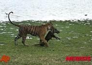 인도서 13명 습격 식인 호랑이 2년여 추적 끝에 사살
