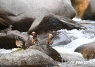 홍류동계곡에서 겨울나는 천연기념물 '원앙'