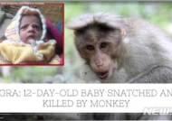 인도 원숭이, 엄마품에서 젖먹던 신생아 낚아채 살해