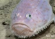 카리브해에서 발견된 수염난 희귀 복어