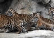 독일 동물원이 고향인 호랑이 새끼들