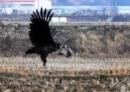 고성을 찾아온 천연기념물 독수리