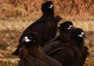 천연기념물 독수리