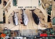 日, 상업포경 위해 IWC 공식 탈퇴…내년 7월 고래잡이 재개