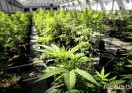 태국, 아시아 최초로 의료용 마리화나 합법화