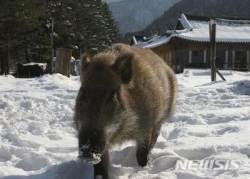 마을뒷산서 나무하던 예천 주민, 멧돼지 공격으로 숨져(종합)