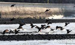 겨울철새 한 달새 11.3% 늘었다…147만 마리 서식
