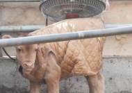 온풍기 앞에 서 있는 송아지
