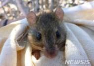 호주서 기후변화로 멸종된 첫 포유류 나와…모래섬에 살던 설치류