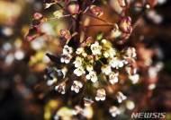 봄과 함께 핀 냉이꽃
