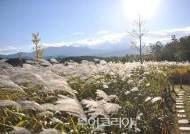 은빛물결 장관! '속초시 영랑호 물억새'로 떠나는 특별한 가을여행