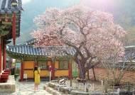 """심쿵유발 봄 여행지 '장성' """"심장아 나대지마~"""""""
