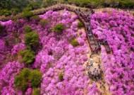 분홍빛 꽃 세상 '고려산 진달래 축제'