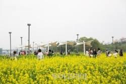 주말엔 '유채꽃' 절정 만나러 한강 서래섬으로 꽃놀이!