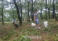 태풍에 찢긴 참나무 밑에서 도토리 줍는 사람들