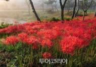 이번 주말 절정 맞은 붉은 '꽃무릇'따라 가을꽃여행