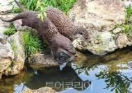 멸종위기종 '수달' 한쌍 대구 금호강 안심습지에 방사