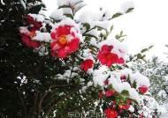 겨울 애기동백 매력에 빠져볼까! '섬 겨울꽃 애기동백축제' 압해도에서 열려