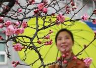 봄 재촉하는 '봄비'에 꽃망울 터트린 봄꽃으로 힐링!