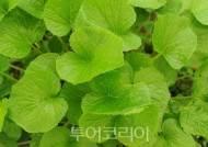 따뜻한 겨울에 '양구곰취축제' 개최시기 일주일 앞당겨 개최