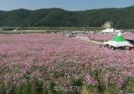 하동 '북천 코스모스·메밀꽃 축제'까지...올해 3대 축제 모두 취소
