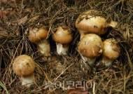 코로나19 선제대응 '봉화 송이축제' 취소
