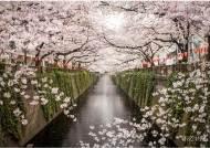 봄 시즌, 벚꽃과 함께 즐기는 특별한 경험 여행
