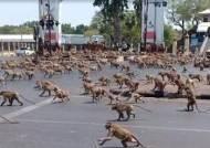 태국서 원숭이 수백마리 '패싸움'…관광객 급감에 먹이 줄어서?