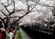 [영상구성] 내가 예쁠까? 벚꽃이 예쁠까?