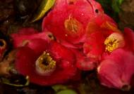 [영상구성] 동백꽃에 물들다
