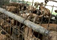 유기견이 '개고기로 유통'…위생상태 '끔찍'